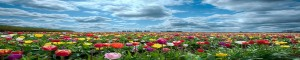 field-of-flowers-1